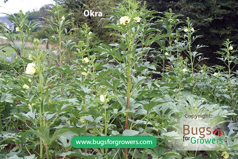 Aphis gossypii aphids feed on okra and cause yield losses