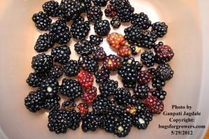 """Wild raspberries"""