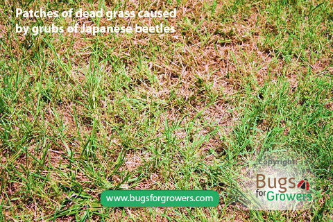 Patches of dead grass caused by grubs of Japanese beetles
