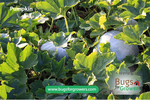 Aphis gossypii aphids feed on pumpkin and cause yield losses