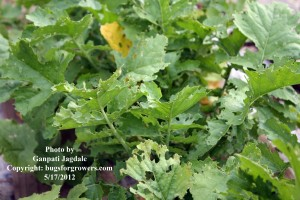 """Radish leaves damaged by flea beetles"""