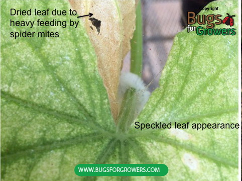 Speckled appearance of leaf due to feeding by spider mites