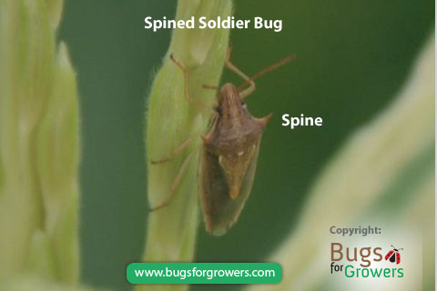 Spined Soldier Bug, Podisus maculiventris