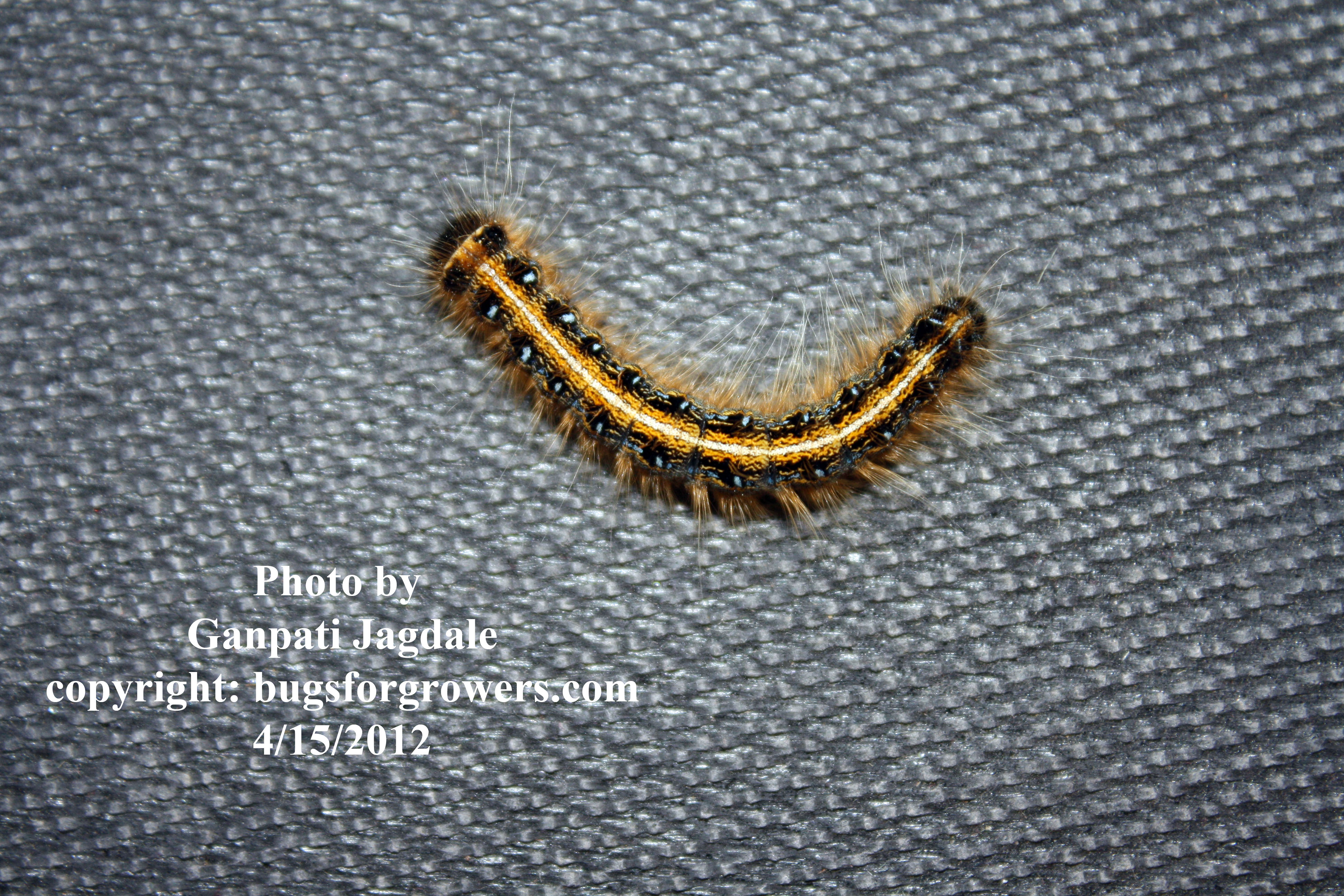 Tent worm caterpillar  & Bugs for Growers: Tent worms are susceptible to entomopathogenic ...