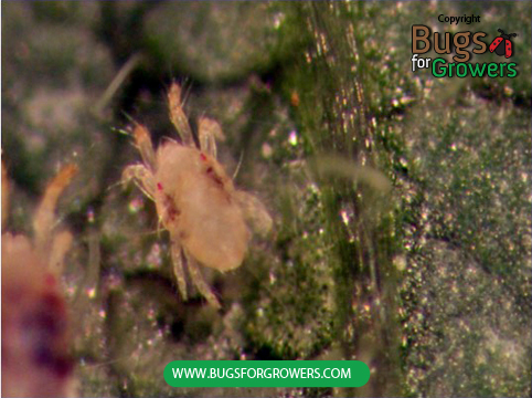 Two-spotted spider mite, Tetranychus urticae