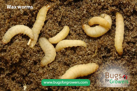 Wax worms for the production of beneficial nematodes