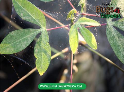 Spider mite web