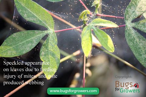 Webbing by pest mites