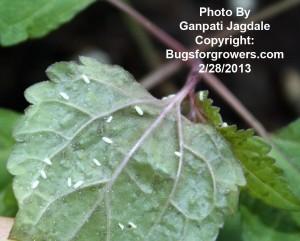 Predatory Mite, Amblyseius swirskii can feed on whitefly eggs and larvae
