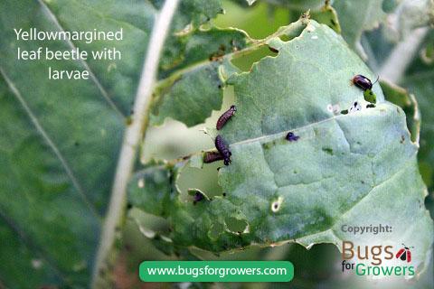 Yellowmargined leaf beetle and larvae