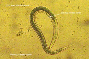 """The dauer juvenile of entomopathogenic nematodes"""