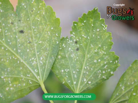 Adult whitefly control